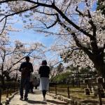 兼六園の満開桜をiphoneで写真撮ったら想像以上にきれいでした。