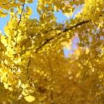練馬の城北中央公園でイチョウが黄色くなる意味を考える