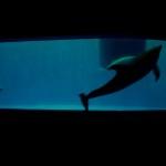 イルカはサメの仲間ではないと言われたので。