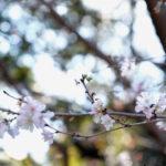 【写真日記187】冬に咲く桜
